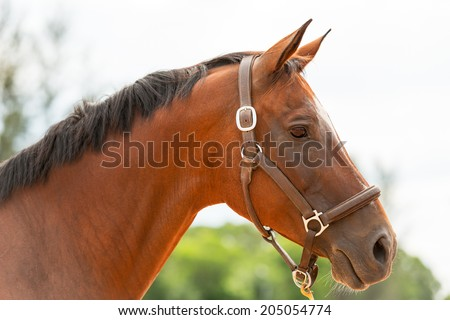 Brown horse close up - stock photo