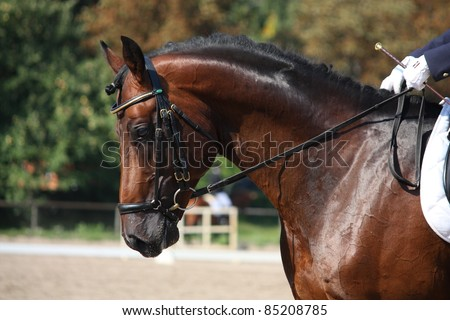 Brown horse close up during dressage show - stock photo
