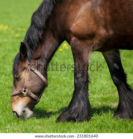 Brown horse eating  fresh green grass on a field