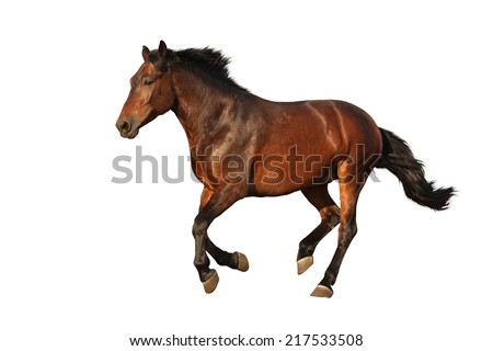 Brown horse galloping isolated on white background - stock photo