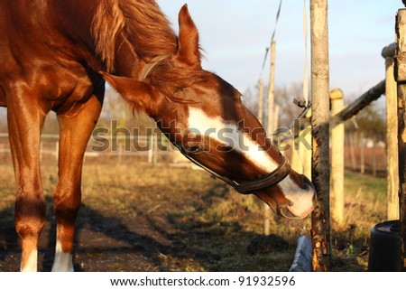 Brown horse gnawing at the wooden fence