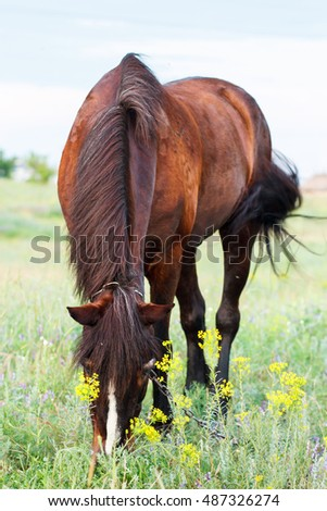 Brown horse grazing on a leash, horse in the field at the evening