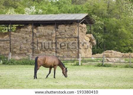 Brown horse grazing on grass land on farm with hay stable in background - stock photo