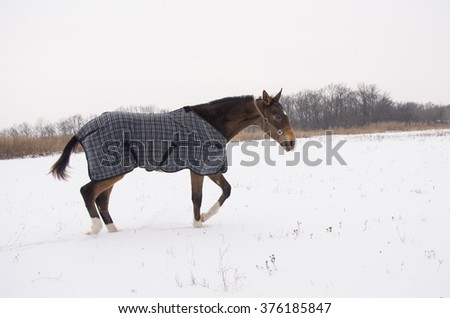 brown horse in a horse-cloth checkered walking on the snowy field on the dark trees background