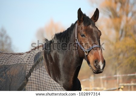 Brown horse in coat in the spring