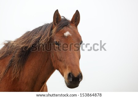 brown horse looking at viewer - stock photo