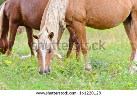 Brown horse mares in a pasture