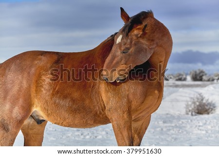 Brown horse reaching back to scratch his shoulder with his teeth in a snow covered background - stock photo