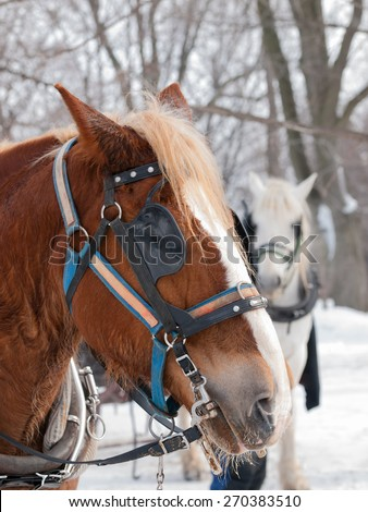 Brown horse ready for sleigh ride close-up profile - stock photo