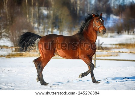 Brown horse running on the snow arena - stock photo