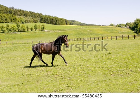 Brown horse runs across the field and  neighs.