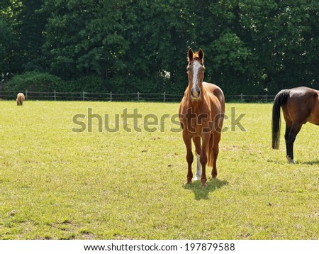 Brown horse standing in meadow in spring. Trees in the background. - stock photo