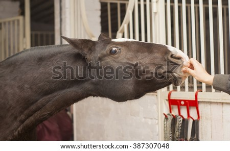 brown horse with a big white blaze on the head is in the stable at the door - stock photo
