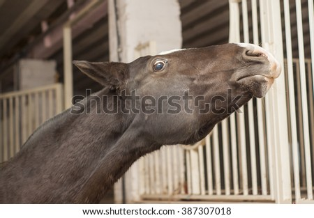 brown horse with a big white blaze on the head is in the stable near the door - stock photo
