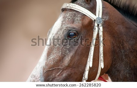 Brown horse with a white blaze and a bridle close-up shot. Expressive eyes of competition horses on a light background - stock photo