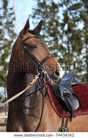 Brown horse with beautiful ammunition - stock photo