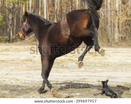 brown horse with black mane and tail runs on sand on a background of pine forest