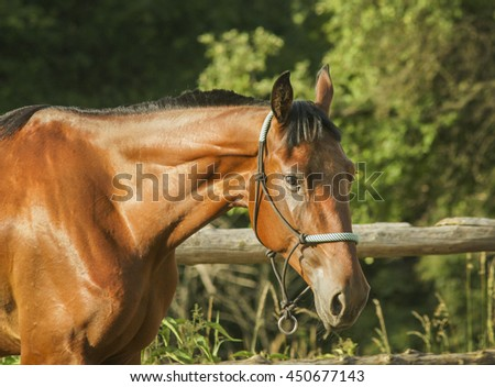 brown horse with black mane walks in the paddock next to a wooden fence on a background of green forest