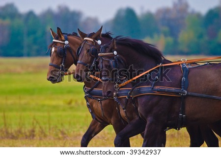 brown horses competed in the recoiling of sunny days in the afternoon - stock photo