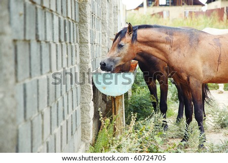 Brown horses drinking at the watering place. Natural light and colors
