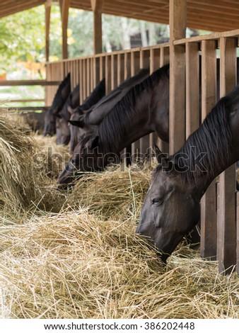 brown horses eating fresh hay - stock photo