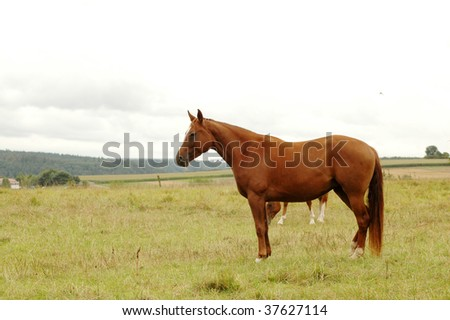 Brown horses grazing in the pasture.