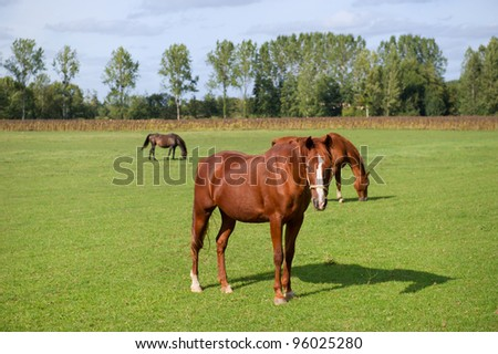 Brown horses in the summer meadows