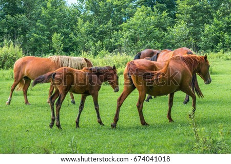 Brown horses on pasture, nature, Animal world.