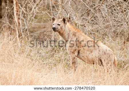 Brown Hyena in savanna trees, Kruger Park, South Africa  - stock photo