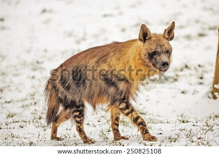 brown hyena in the snow - stock photo