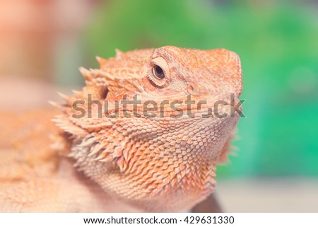 Brown iguana in a terrarium. Toned - stock photo