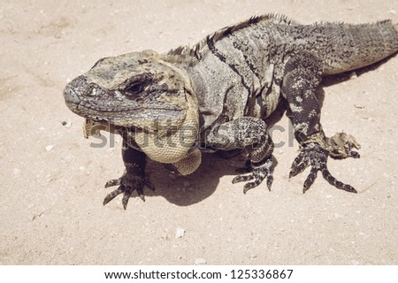 Brown iguana walking at the beach