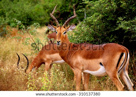 Brown impalas (Aepyceros melampus)  male with long horns in Kruger National park. Large antelope. Wild nature. Autumn in South Africa. - stock photo