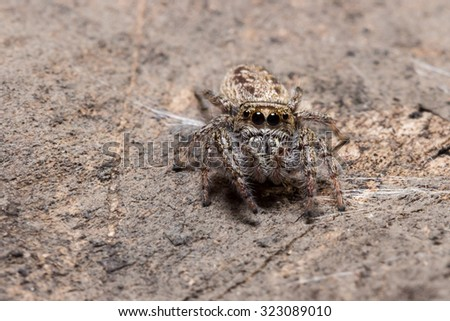 Brown jumping spider blends perfectly with brown surface