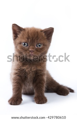 Brown kitten British cat looking at the camera (isolated on white) - stock photo