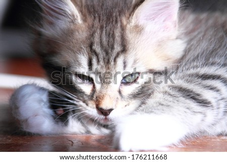 brown kitten of siberian cat at two months