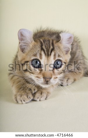 Brown kitten on yellow background