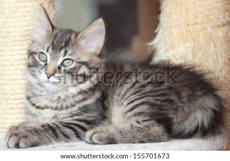 brown kitten, siberian cat