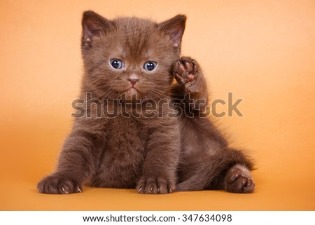 Brown kitten sitting and looking at the camera on a brown background - stock photo