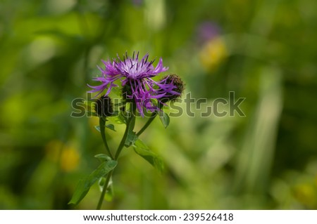 Brown Knapweed (centaurea jacea) in a forest closeup  - stock photo