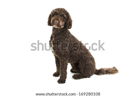 Brown labradoodle sitting - stock photo