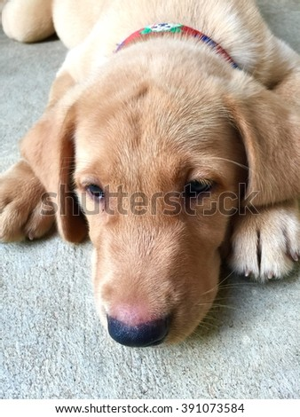 Brown Labrador , a sleepy one month old puppy.