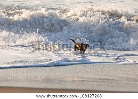 Brown labrador playing in water on the beach. - stock photo