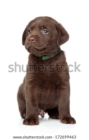 Brown Labrador portrait on a white background