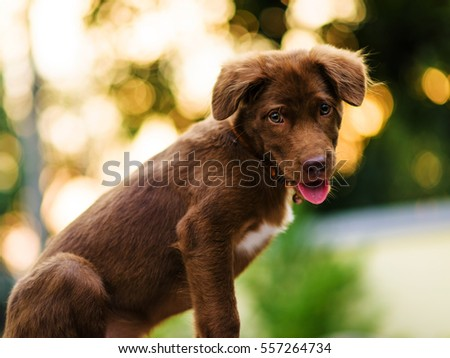 Brown Labrador puppy dog look at camera with bokeh sunset light