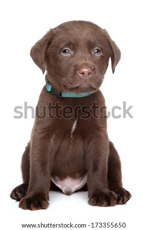 Brown Labrador puppy portrait on white background
