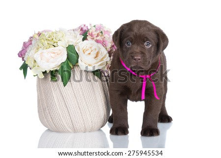 brown labrador puppy with flowers
