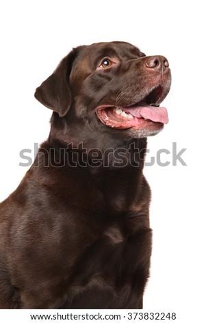 Brown Labrador retriever dog on white background - stock photo