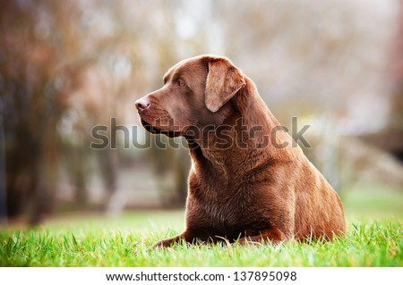brown labrador retriever dog resting outside - stock photo