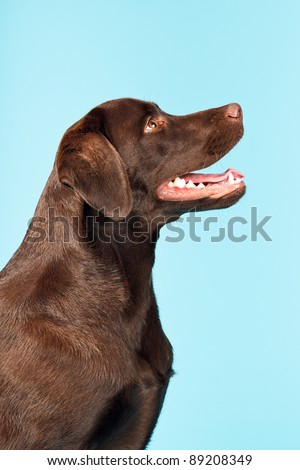 Brown labrador retriever isolated on light blue background - stock photo